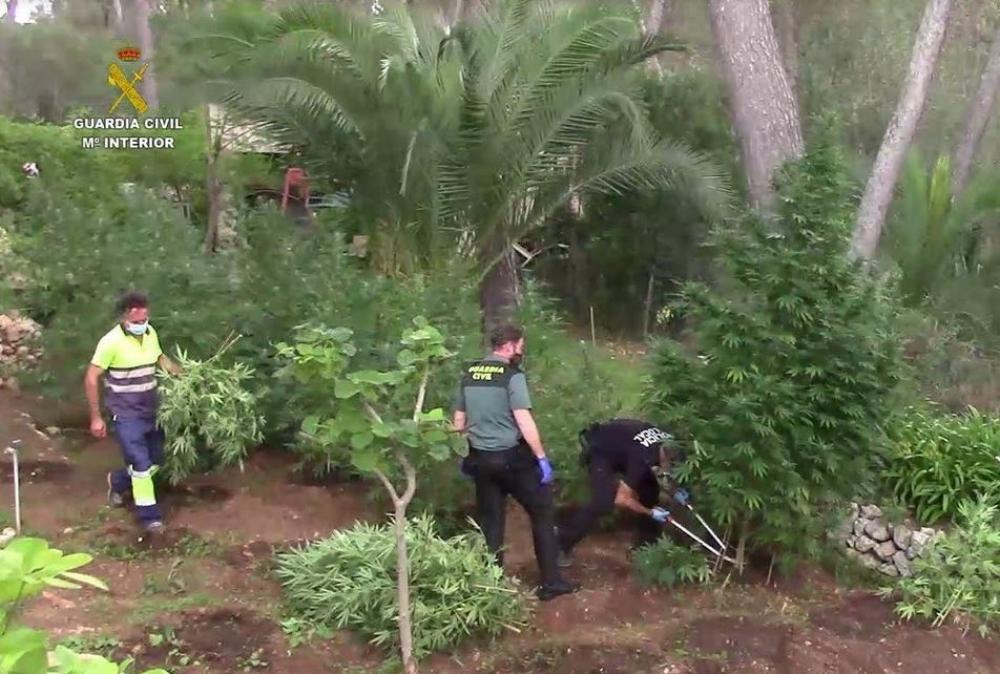 Desmantelada una de las mayores plantaciones de  marihuana en Baleares en los últimos años