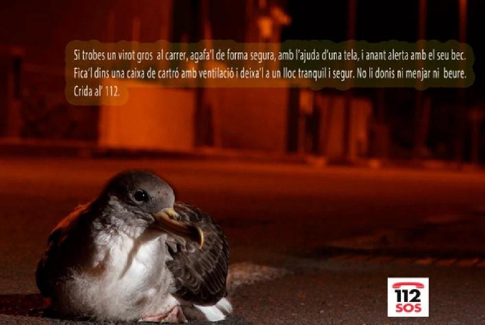 Piden colaboración a la ciudadanía para recuperar polluelos de Virot Gros desorientados por la luz