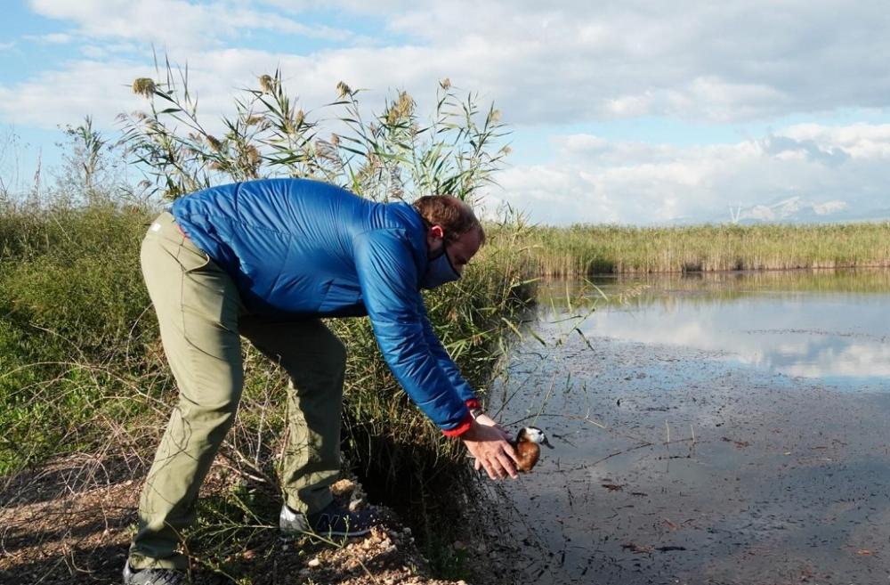La malvasía cabeciblanca vuelve al Parque Natural de s'Albufera 15 años después de su extinción en las Illes Balears