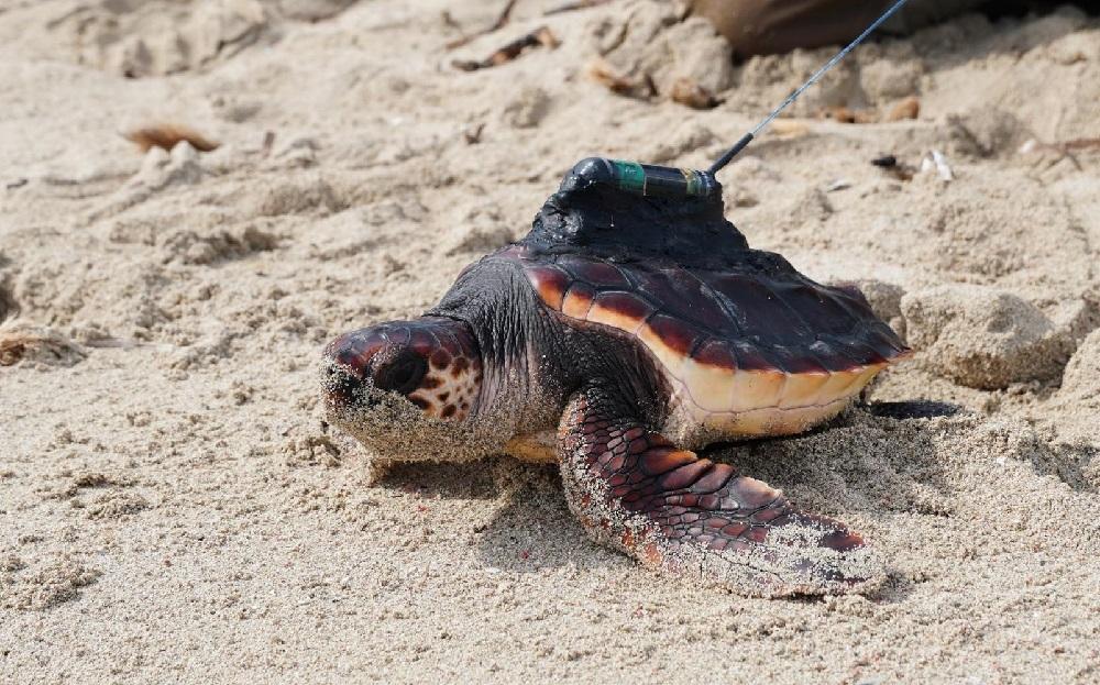 La campaña 'Anida' informa sobre cómo actuar ante la nidificación de tortugas marinas en las Islas Baleares
