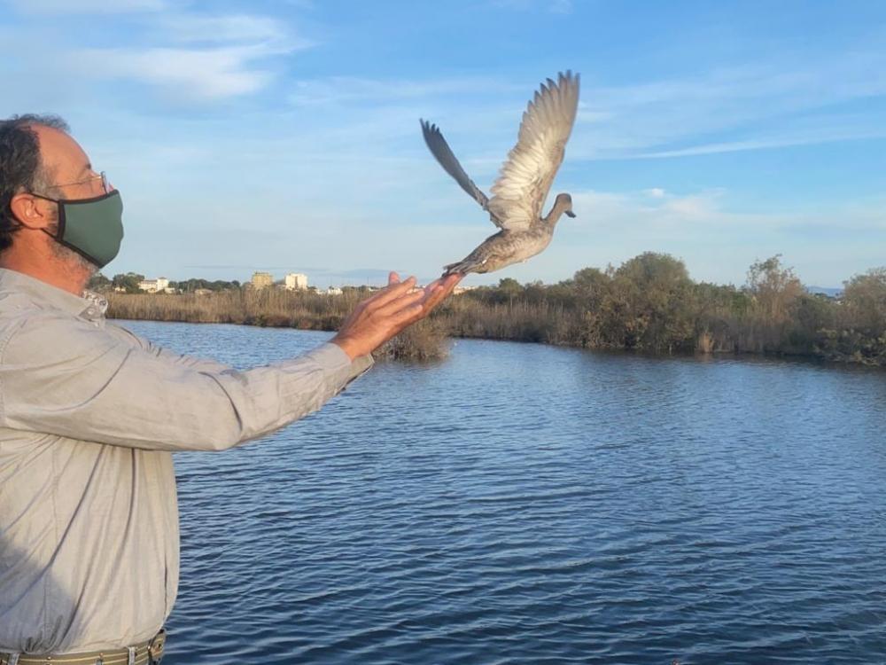 El Parque Natural de s'Albufera acoge 44 ejemplares de una especie de pato en peligro crítico de extinción