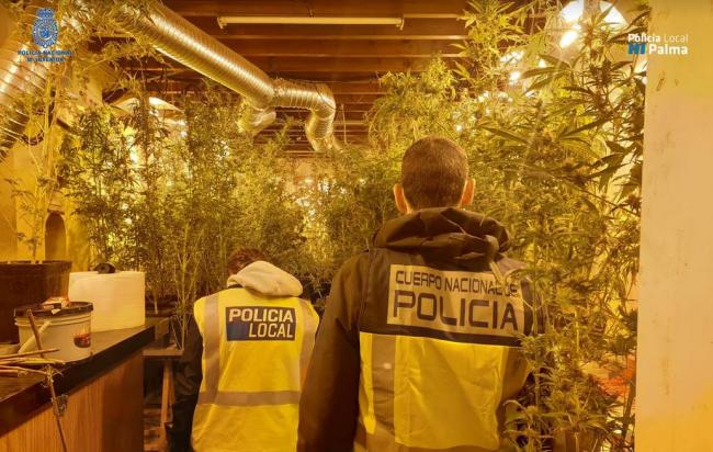 La Policía Nacional y la Policía Local de Palma desmantelan tres plantaciones de marihuana y detiene a 4 personas