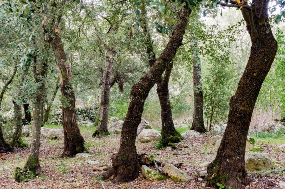Publican la primera Guía de los Bosques de las Islas Baleares