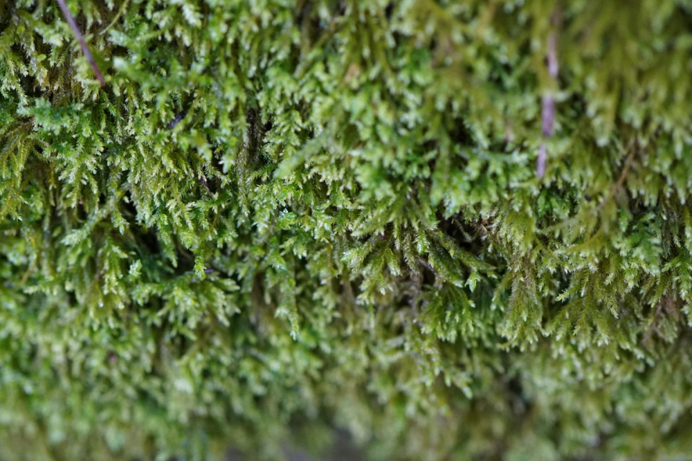 El musgo Balear y las especies de briófitas se encuentran amenazadas