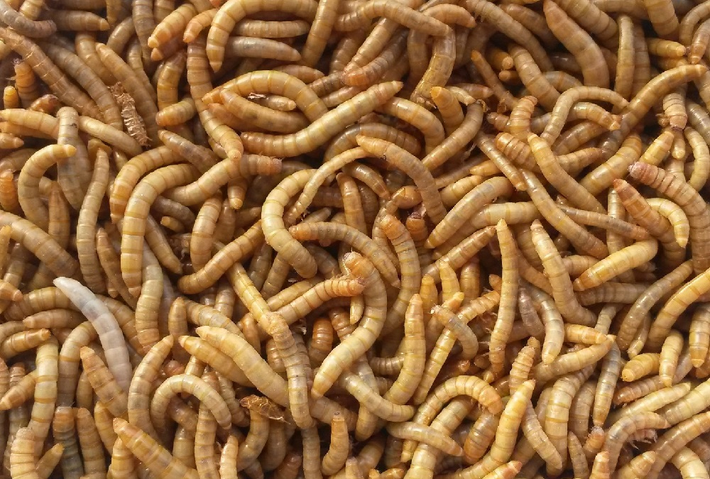 Publican la primera evaluación completa de un insecto como nuevo alimento