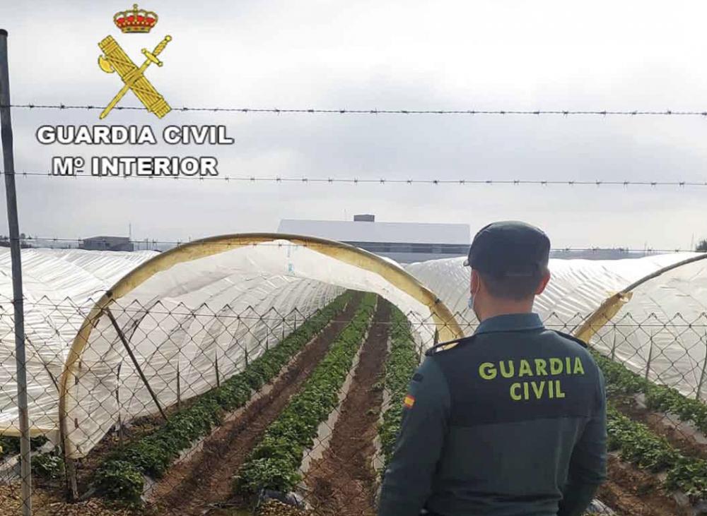 La Guardia Civil investiga a dos individuos por el robo de 200kg de fresas en Sa Pobla