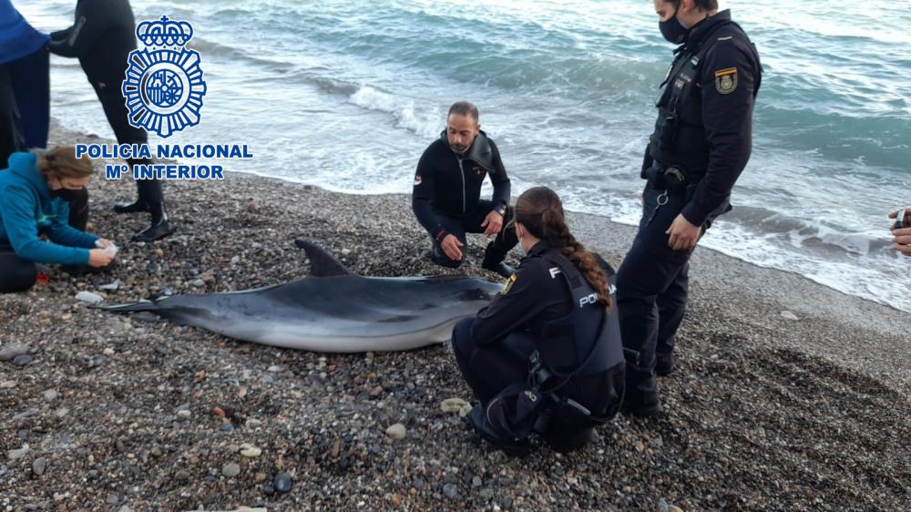 Agentes de la Policía Nacional rescatan un delfín varado en la playa