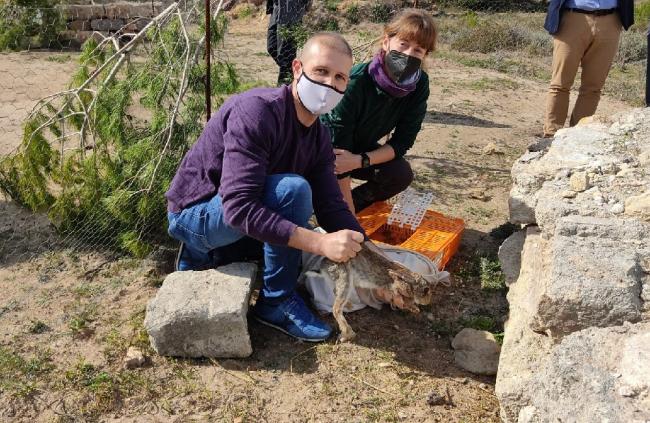 El Consell de Mallorca ha fet 36 actuacions per a la repoblació del conill de camp a 14 localitats