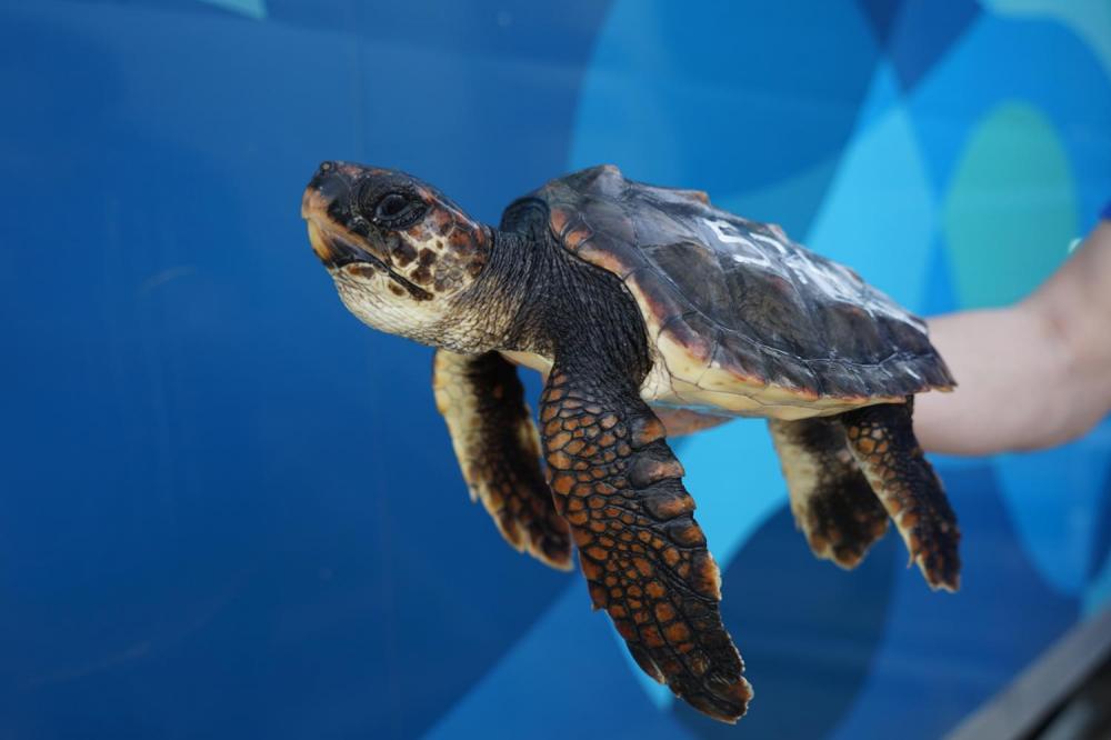 Una de las tortugas nacidas en Eivissa en 2019 se recupera en Valencia después de haber sido capturada por un pesquero