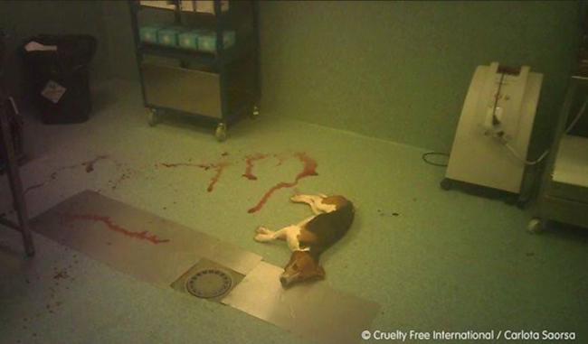 AnimaNaturalis emprenderá acciones legales contra un laboratorio, por los abusos continuados a animales