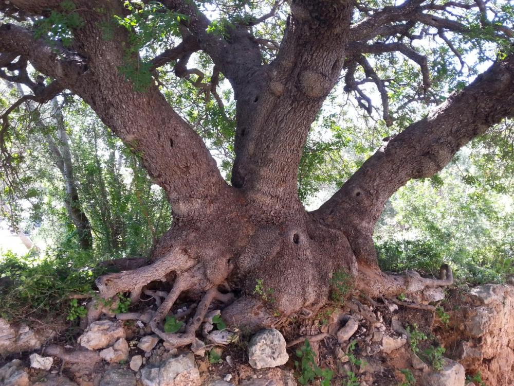 El Catálogo de árboles singulares de las Illes Balears incorpora cinco nuevos ejemplares