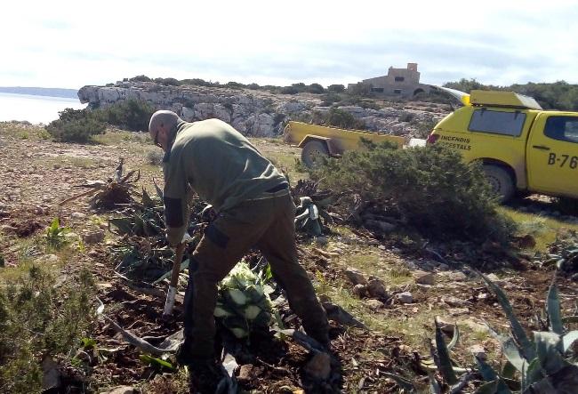 La campaña de control de invasoras en Formentera ya ha permitido eliminar 8 toneladas de plantas invasoras