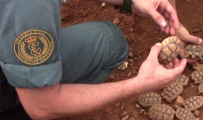 La Guardia Civil halla sesenta y una tortugas del mediterráneo en dos viviendas particulares de Maó