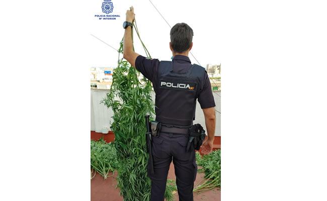 Eliminada una plantación de marihuana de la terraza de una vivienda en Palma
