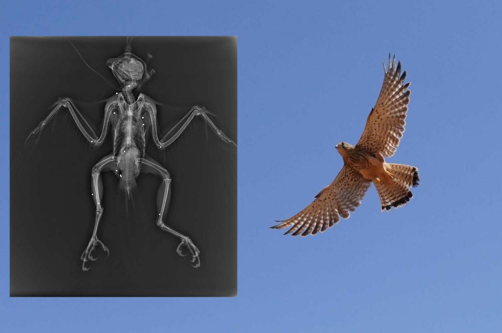 Quince aves protegidas han ingresado este año en el COFIB afectadas por disparos