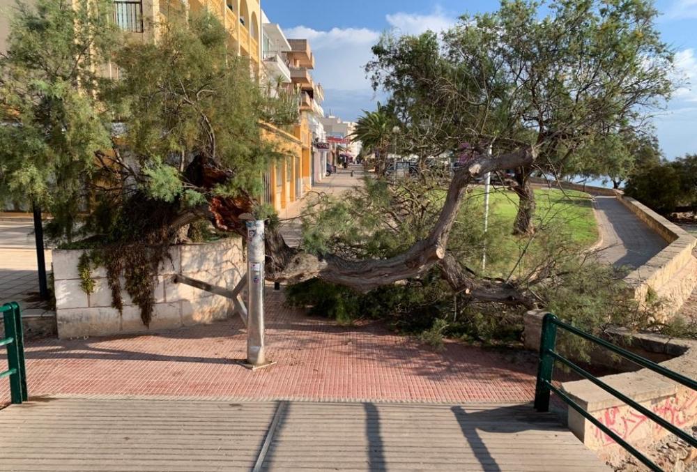 Se cae una gran rama de un tamarell del puente de S'illot